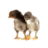 Marans. Two black chickens or chicks from Marans breed,Poule de Marans over white background Royalty Free Stock Photos