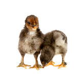 Marans. Two black chickens or chicks from Marans breed,Poule de Marans over white background Stock Images