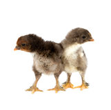 Marans. Two black chickens or chicks from Marans breed,Poule de Marans over white background Stock Photo