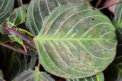Maranta大圆的绿色叶子-抽象纹理自然本底 免版税库存图片
