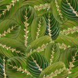 Maranta de fleur de feuilles Photos libres de droits