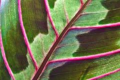 Maranta houseplant Stock Image