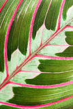 Maranta houseplant Royalty Free Stock Photo
