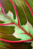 Maranta houseplant Royalty Free Stock Images