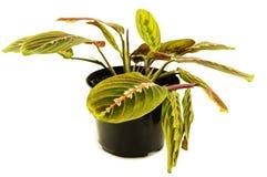 Maranta houseplant på en vit bakgrund För ditt Fotografering för Bildbyråer