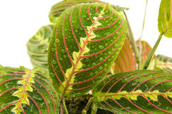 Maranta houseplant on a white background. For your. Commercial and editorial use Stock Photo