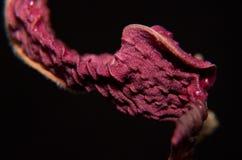 Maranta leaf Stock Photo