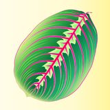 Maranta Leaf. Template tropical leaf for design fabric. Vector image. Arrowroot plant with motley leaf, the color illustration a l. Ight background Royalty Free Stock Image