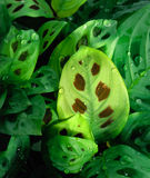 Maranta Stock Photos