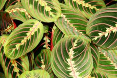 Maranta plant Royalty Free Stock Photography
