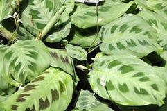 Maranta plant Royalty Free Stock Image