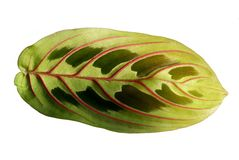 Maranta tricolor Royalty Free Stock Photos