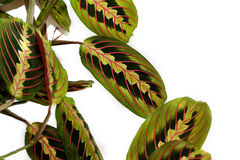 Maranta tricolor Foto de Stock Royalty Free
