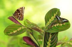 Maranta tricolor con las mariposas Fotografía de archivo libre de regalías