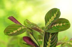 Maranta tricolor Royalty Free Stock Photography