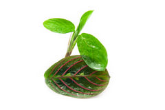 Maranta tricolor isolated Royalty Free Stock Images