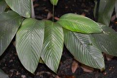 Marantaceae Stock Photos