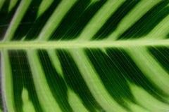 MARANTHACEAE - Fond vert d'abrégé sur nature de couche de feuille Images libres de droits