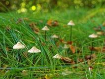 Marasmius mushroom growth in grass Royalty Free Stock Photography