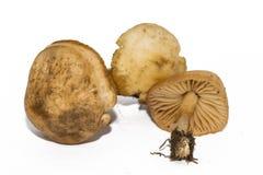 Marasmius oreades, de Schotse bonnet, is ook genoemd geworden de paddestoel of de feeringschampignon van de feering Eetbare padde stock foto's