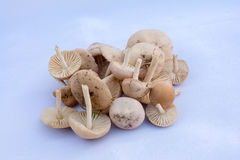 Marasmius oreades - Scotch bonnet. Mushroom, freshly harvested Stock Photo