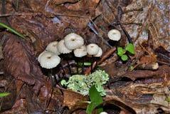 Marasmius Rotula wenig Rad-Pilz lizenzfreie stockfotos