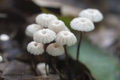 Free Marasmius Wettsteinii Musrooms Royalty Free Stock Photo - 95375275