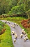 Maratón de las ovejas Imágenes de archivo libres de regalías