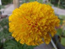 Maravilla amarilla Imagenes de archivo