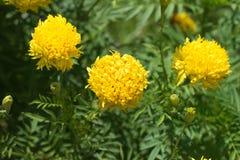 Maravilla amarilla de la flor fotos de archivo libres de regalías