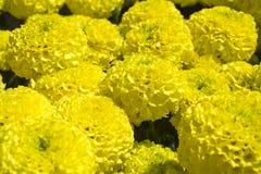 Maravilla amarilla - flor de Cempasúchil Fotografía de archivo libre de regalías
