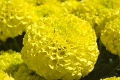 Maravilla amarilla - flor de Cempasúchil Imagen de archivo libre de regalías
