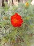 Maravilla anaranjada Fotografía de archivo libre de regalías