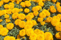 Maravilla anaranjada - flor de Cempasuchil Fotos de archivo