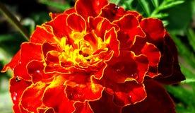 Maravilla anaranjada saturada brillante de la flor fotos de archivo libres de regalías