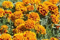 Maravilla anaranjada y roja - flor de Cempasuchil Fotografía de archivo libre de regalías