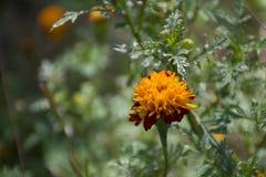 Maravilla ascendente cercana, flor amarilla, erecta de Tagetes con el espacio de la copia imagenes de archivo