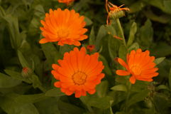 Maravilla brillante anaranjada de la flor de tres Calendulas Foto de archivo