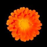 Maravilla de crisol anaranjada - officinalis del Calendula Imagenes de archivo
