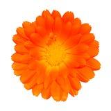 Maravilla de crisol anaranjada - officinalis del Calendula Imagen de archivo