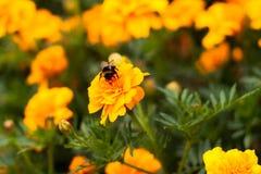 Maravilla de la flor de Honey Bee On Petals Of Fotos de archivo