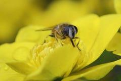 Maravilla de pantano con una abeja Imagen de archivo