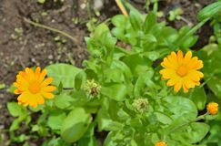 Maravilla floreciente de la hierba Imagen de archivo