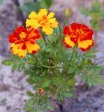 Maravilla floreciente también conocida como flores de los tagetes foto de archivo libre de regalías