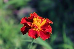 Maravilla francesa coloreada naranja-roja foto de archivo libre de regalías