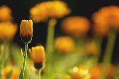Maravilla lista para florecer Fotos de archivo