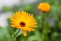 Maravilla (officinalis del calendula) Fotos de archivo
