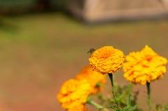 Maravilla (officinalis del calendula) Imagenes de archivo