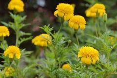 Maravillas amarillas en el jardín Fotografía de archivo libre de regalías