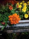 Maravillas anaranjadas y amarillas fotos de archivo